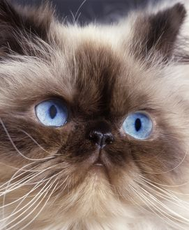 Cat - Persian Chocolate Point - close-up of face