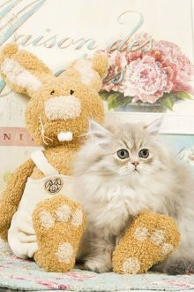 Cat - Persian kitten by rabbit cuddly toy