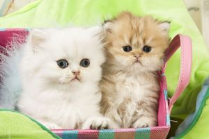 Cat - Persian kittens