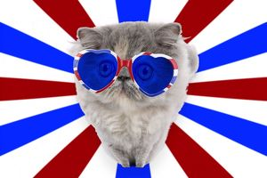 Cat - Persian wearing heart shaped union jack glasses