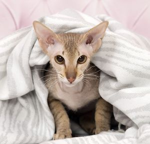 Cat Peterbald under a blanket
