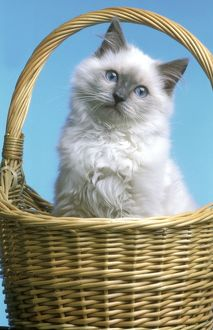 Cat - Ragdoll Kitten sitting in basket