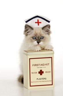 CAT - Ragdoll kitting wearing nurses hat with box of plasters