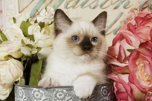 Cat - Ragdoll Seal Kitten amongst flowers