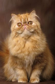 Cat - Red Persian