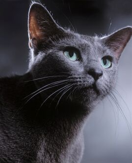 Cat - Russian Blue