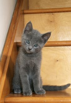 Cat - Russian blue kitten on stairs