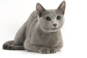 Cat - Russian Blue, short-haired