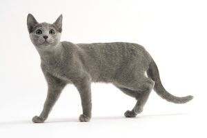 Cat - Russian Blue, short-haired. Standing / walking, side view