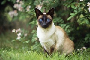 CAT - Seal Point Siamese