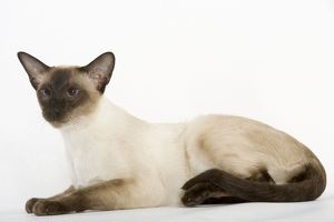 Cat - Seal Point Siamese shorthair