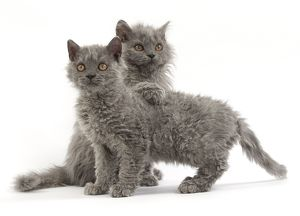Cat Selkirk Rex kittens