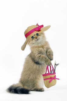 Cat - Shaded Golden Perisan on hind legs, wearing hat & carrying handbag with Fish