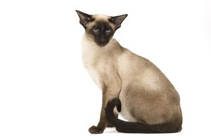 Cat - Siamese