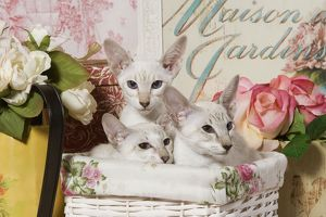 Cat - three siamese in basket