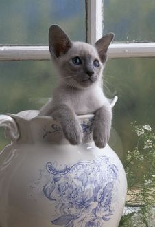 CAT - SIAMESE KITTEN - IN JUG