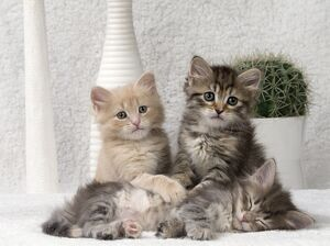 Cat Siberian 8 week old kittens