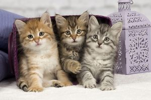 Cat - Siberian - 8 week old kittens - playing with basket