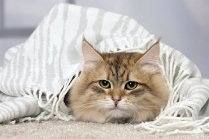 Cat Siberian under a blanket