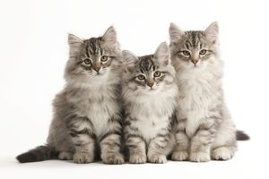 Cat - Siberian Cats sitting together