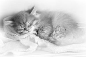 Cat - Siberian kitten sleeping