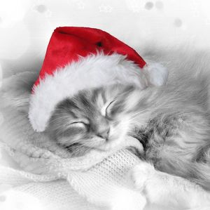 Cat - Siberian kitten sleeping wearing Christmas hat