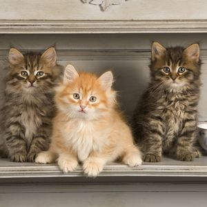 Cat - Siberian Kittens - on shelf with tea cup