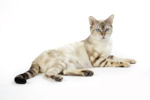 CAT. Snow Marble blue-eyed Bengal