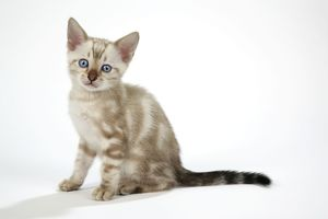 CAT. Snow Marble blue-eyed Bengal kitten - 6 weeks old