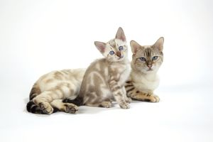 CAT. Snow Marble blue-eyed Bengal with kitten - 6 weeks old