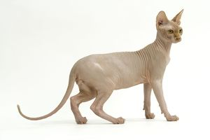 <b>Sphynx</b><br>Selection of 115 items