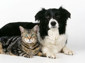 CAT - Tabby with Border Collie