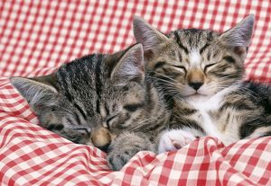 CAT - Tabby kittens asleep on blue gingham