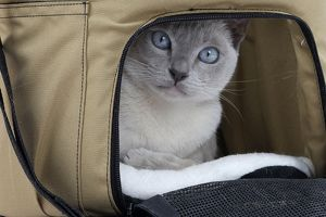 Cat - Tonkinese - in cat carrying bag
