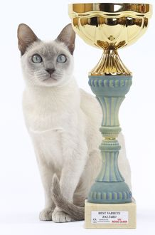 Cat - Tonkinese - with trophy