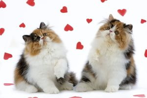 Cat - Tortoiseshell and White Persian kittens with red hearts
