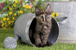 Cat - Turkish Angora - in watering can