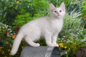Cat - Turkish Angora - on watering can