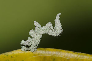 Caterpillar - camouflaged with fine powder for protection
