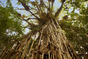 Cathedral Fig Tree - this is the most impressive Strangler Fig on the Atherton Tablelands