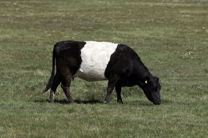 Cattle - Belted Galloway / Dutch Belted