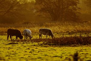 Cattle - grazing early morning