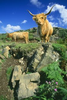 CATTLE, Highland cows