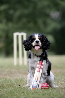 Cavalier King Charles spaniel with cricket bat and ball