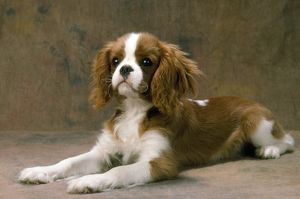 Cavalier King Charles Spaniel Dog - lying down