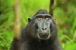 Celebes Crested Macaque / Crested Black Macaque / Sulawesi Crested Macaque / Black