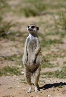 CH-3664 SURICATE / Meerkat - pregnant female on hind legs
