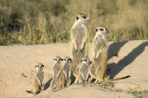 CH-4030 Suricate / Meerkat - mother & nursemaid with baby kittens