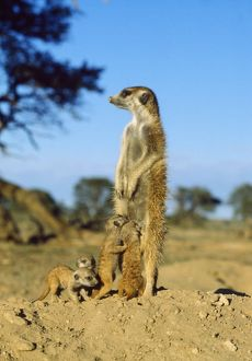 CH-4435 Suricate / Meerkat - Nursemaid with young