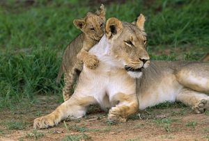 CH-4863 LION - lioness / female with cub